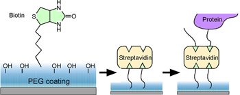 immobilized streptavidin for biotin-tagged molecule attachment